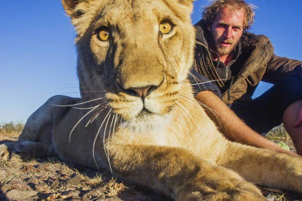 Man and lioness: Sirga the lioness ,wide angle